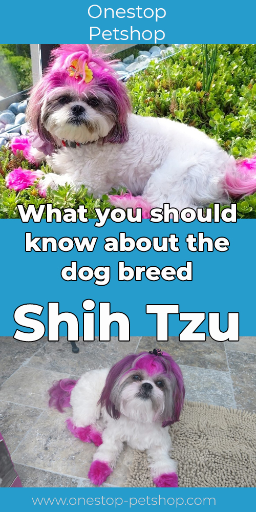 What you should know about the dog breed Shih Tzu
