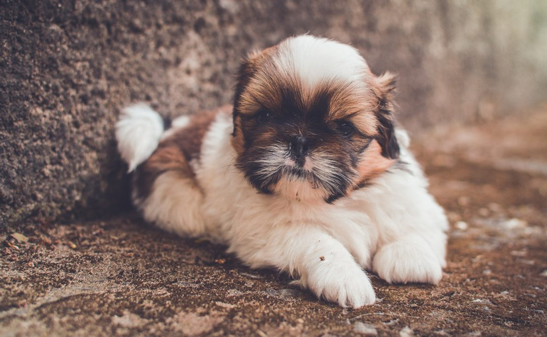 Can Shih Tzus Climb Stairs?