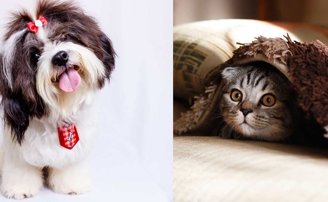 Do Shih Tzus Get Along With Cats