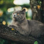 What you should know about the British Shorthair cat
