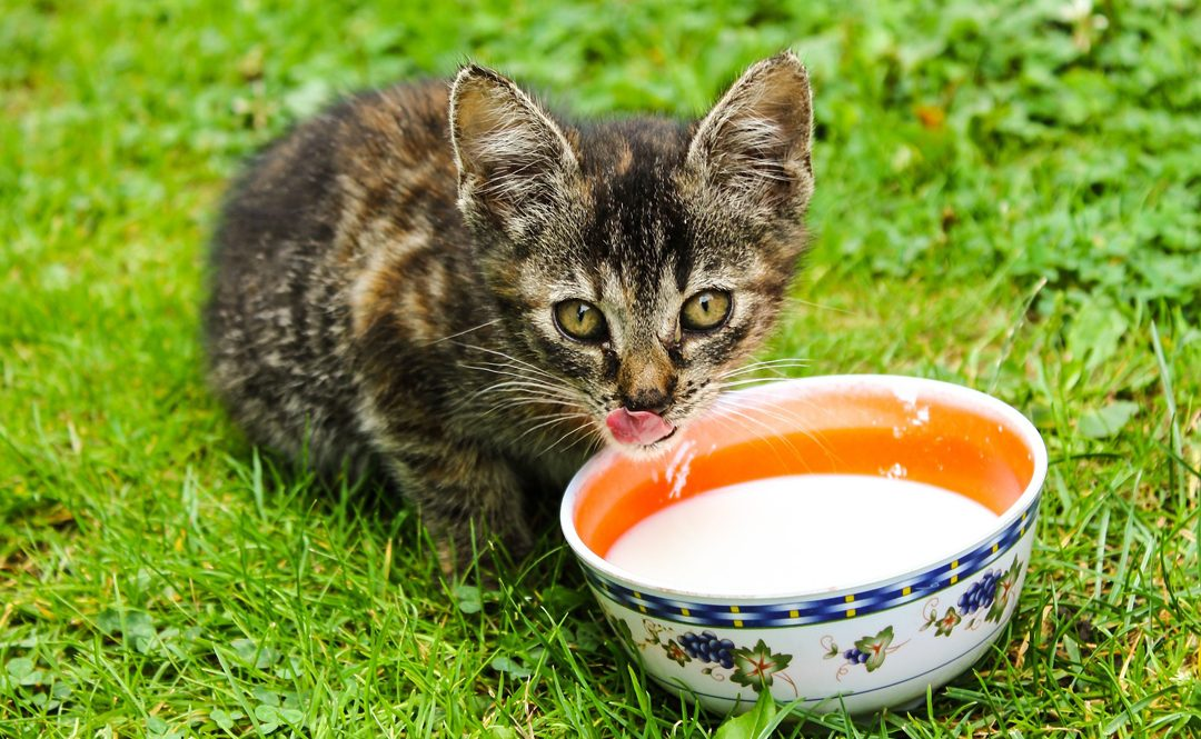 May Cats Drink Milk – A Quick Overview