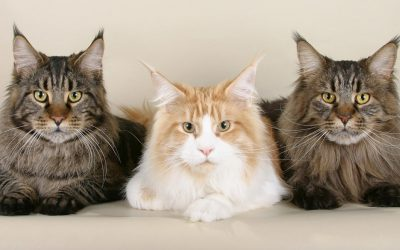 The Maine Coon Cat Breed – A Fact Overview