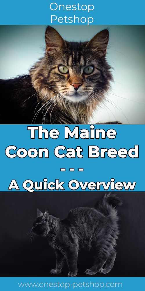 The Maine Coon Cat Breed Pinterest